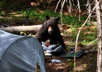 bear in a campsite